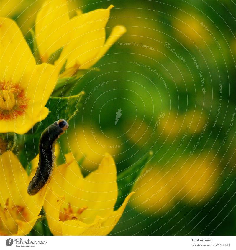 verkappter schmetterling Fressen Ernährung Schmetterling schön Insekt krabbeln mehrfarbig Blume Sommer Physik Unbeschwertheit gelb grün Pflanze Blüte