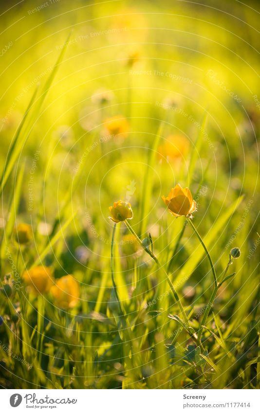 Wiesenzauber | UT Köln Natur Pflanze Sonnenlicht Frühling Sommer Schönes Wetter Blume Gras Sumpf-Dotterblumen Park Blühend Wachstum frisch klein Wärme gelb
