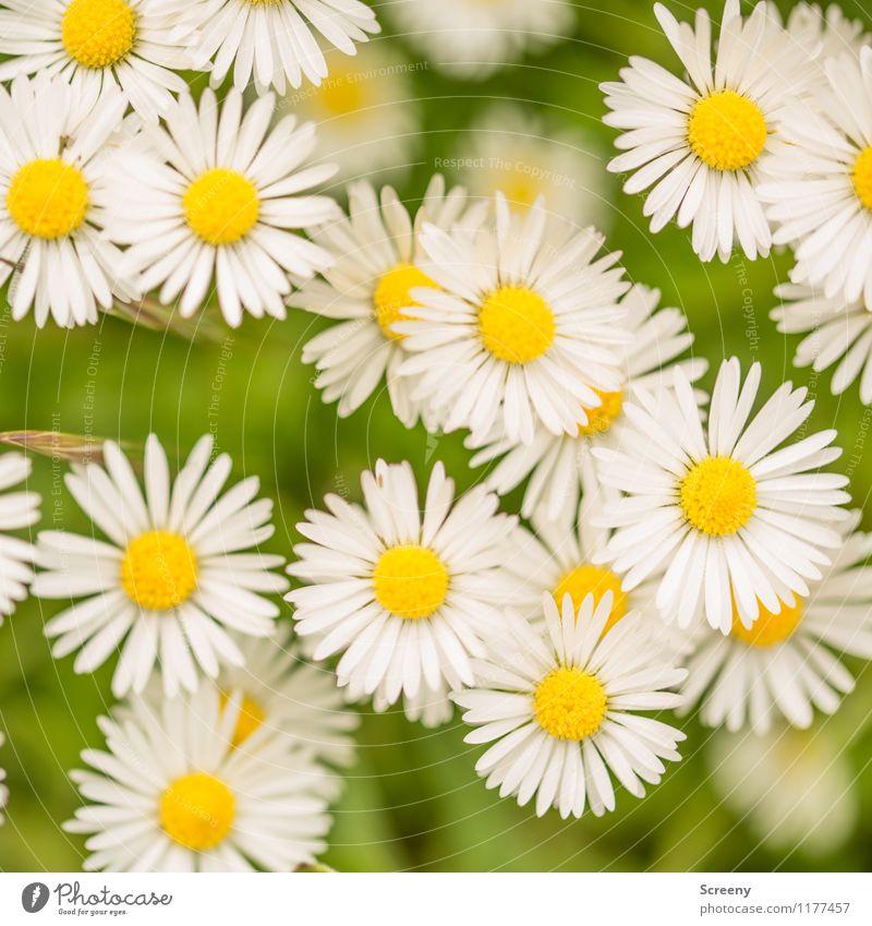 Daisy-Chain | UT Köln Natur Landschaft Pflanze Frühling Sommer Schönes Wetter Blume Gänseblümchen Park Wiese Blühend Wachstum klein natürlich gelb grün weiß