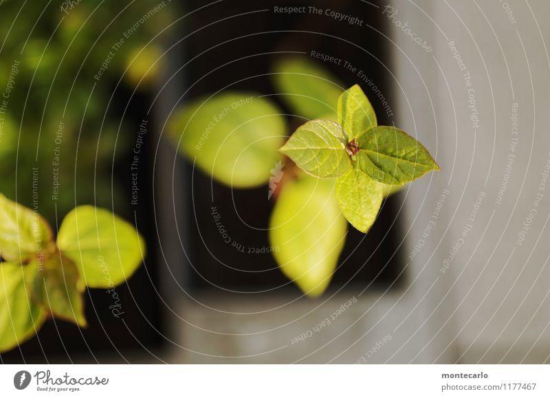 nachwuchs Umwelt Natur Pflanze Blatt Grünpflanze Wildpflanze dünn authentisch einfach frisch klein nah nachhaltig natürlich trocken weich grün Farbfoto