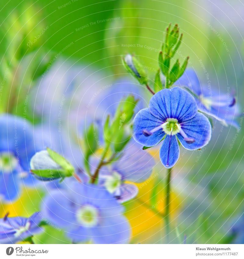 Kleine Kostbarkeit 7 ( Blue eyes) Umwelt Natur Pflanze Frühling Sommer Blume Wildpflanze Gamander-Ehrenpreis Wiese Blühend blau gelb grün weiß Blattknospe