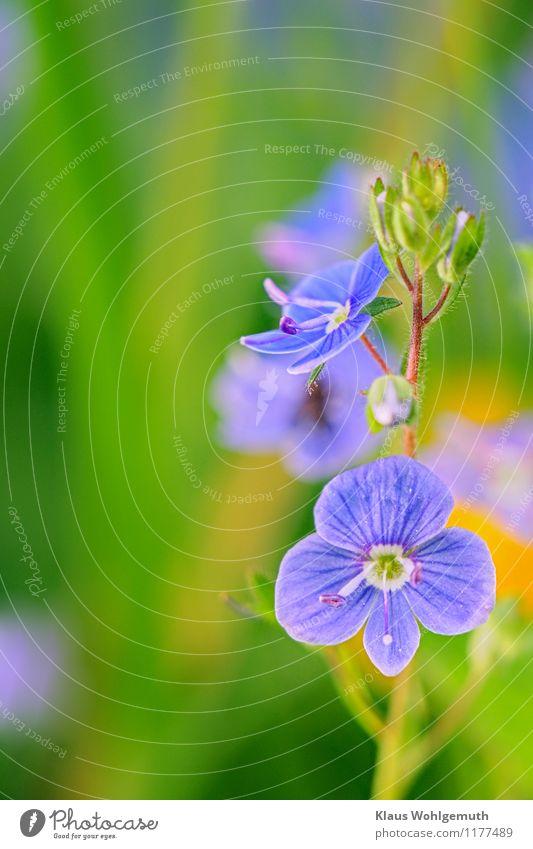 Kleine Kostbarkeit 8 Umwelt Natur Pflanze Frühling Sommer Schönes Wetter Blume Grünpflanze Wildpflanze Gamander-Ehrenpreis Park Wiese Blühend blau gelb grün