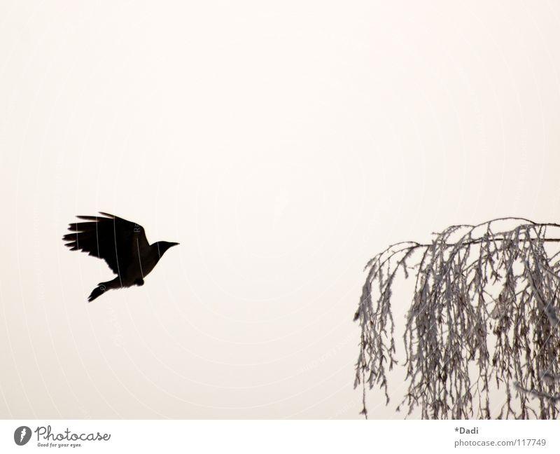 Krähe Rabenvögel schwarz dunkel Tier Baum grau Blatt Vogel Luft Nebel ausgestreckt Schnabel weich träumen Außenaufnahme Winter fliegen Kontrast Ast Natur