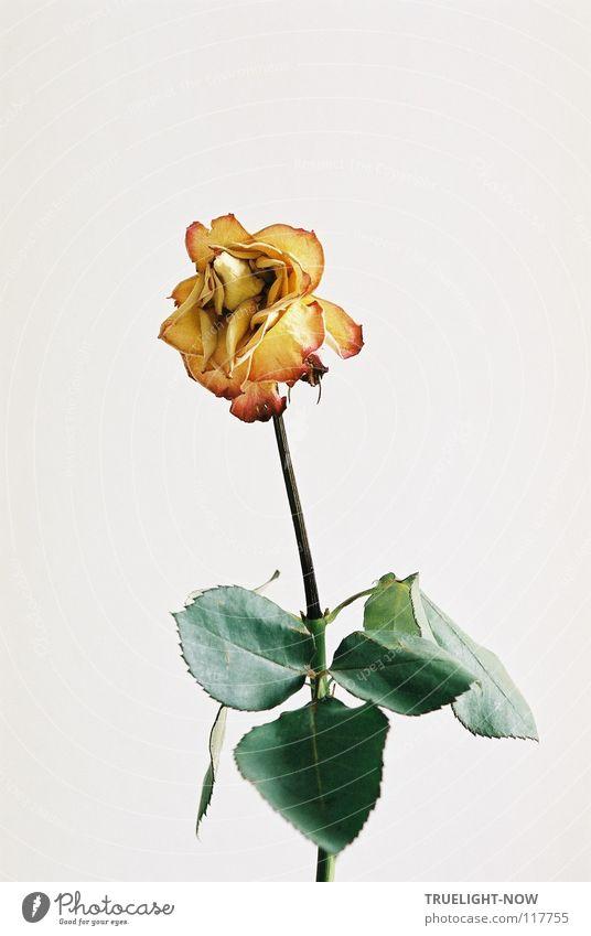 Ganz still schön Einsamkeit Blume ruhig Traurigkeit Tod Vergänglichkeit Trauer Rose rein zart sanft Erinnerung bleich verweht