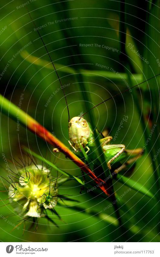 Flip grün Gras Stengel Blüte Pflanze Tier Salto Fühler Insekt springen Physik Sommer Frühling Jahreszeiten Wiese Feld Natur Heuschrecke Blühend Beine Wärme