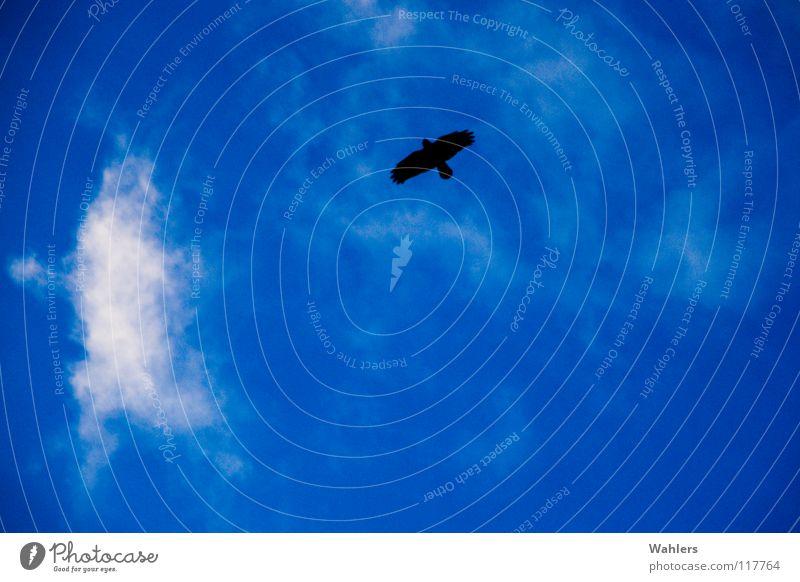Luftige Höhen weiß blau Wolken schwarz Freiheit Luft Vogel hoch fliegen Luftverkehr Feder Niveau Flügel Unendlichkeit Schweben Schnabel