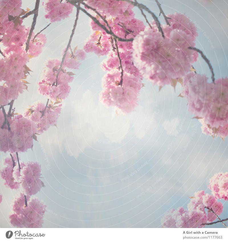 the beginning Umwelt Natur Pflanze Himmel Wolken Frühling Schönes Wetter Baum Blüte Garten Park Blühend schön rosa Kirschblüten prächtig Gedeckte Farben