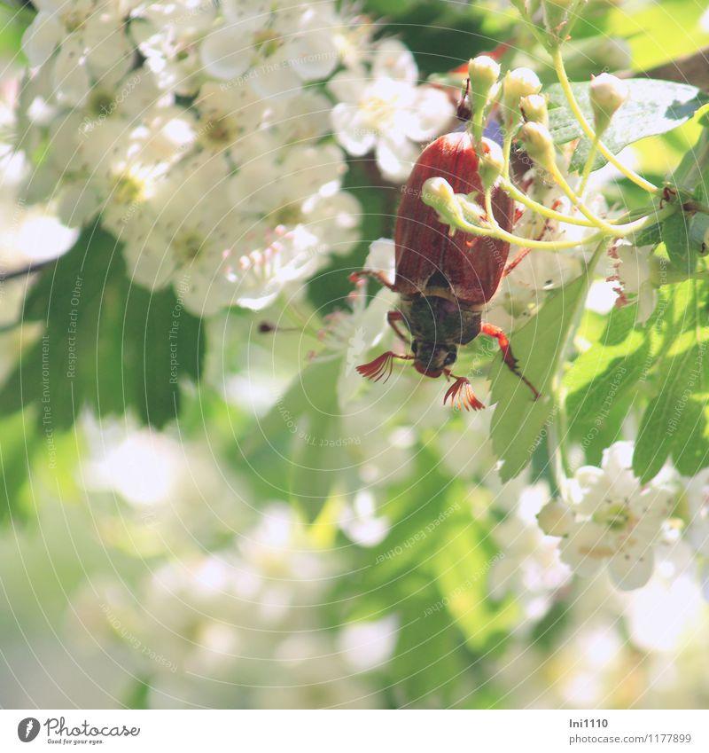 Maikäfer I Natur Pflanze grün weiß Sonne Baum rot Tier schwarz gelb Leben Frühling Blüte Bewegung Garten braun