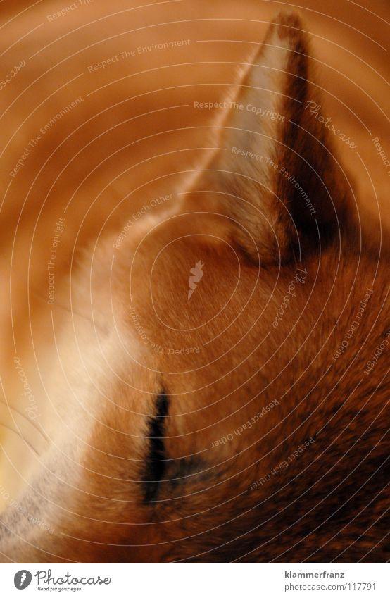s'mädi schläft scho ruhig Tier Erholung Haare & Frisuren Hund schlafen Pause Ohr Spitze Fell Mütze Bart Japan Haustier Wimpern Treue
