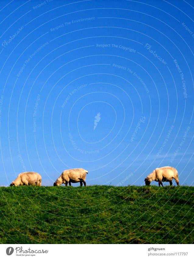 landschaftspflege Himmel weiß grün blau Ernährung Tier Wiese Gras Bekleidung Schaf Fressen Säugetier Blauer Himmel Wolle Deich Rasenmäher