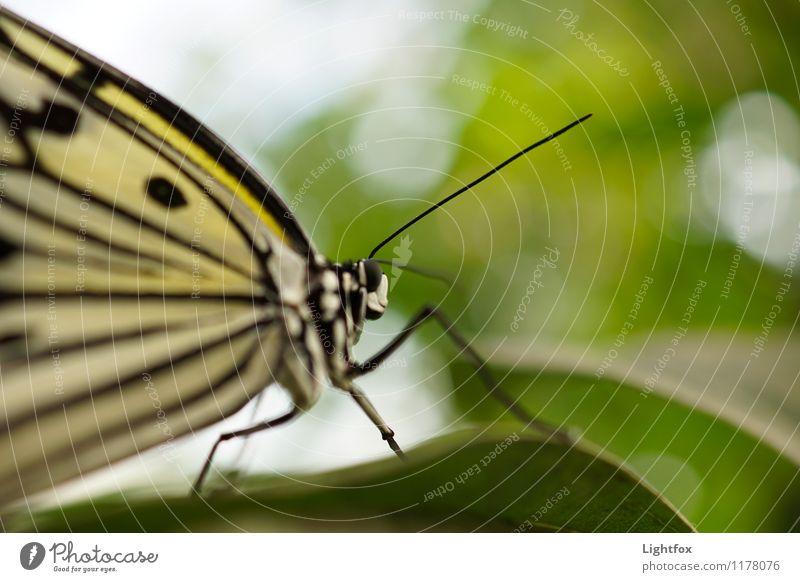 Schmettergage Tier Schmetterling 1 Gefühle Stimmung Zoomeffekt Detailaufnahme Natur Punkt blatt Fühler Auge Facettenauge Farbfoto Außenaufnahme