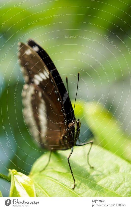 Schmettergage Schmetterling 1 Tier Präzision startbereit Fühler Butterfly Schädlinge Raupe verpuppen Farbfoto Außenaufnahme Tierporträt Blick in die Kamera