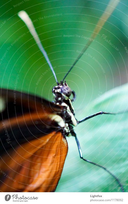 Oha Schmetterling 1 Tier Frühlingsgefühle Vorfreude Höhenangst Flugangst Flügel Facettenauge Fühler Insekt Garten Natur Raupe verpuppen Farbfoto Außenaufnahme