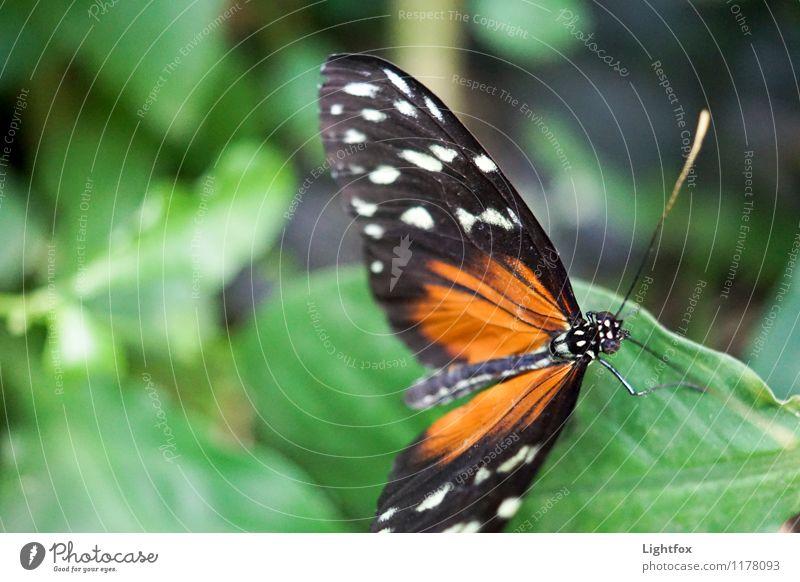 Butter Ilic Schmetterling 1 Tier festhalten fliegen genießen leuchten grün orange schwarz Butterfly Fühler zart zerbrechlich Facettenauge Abheben Fluggerät