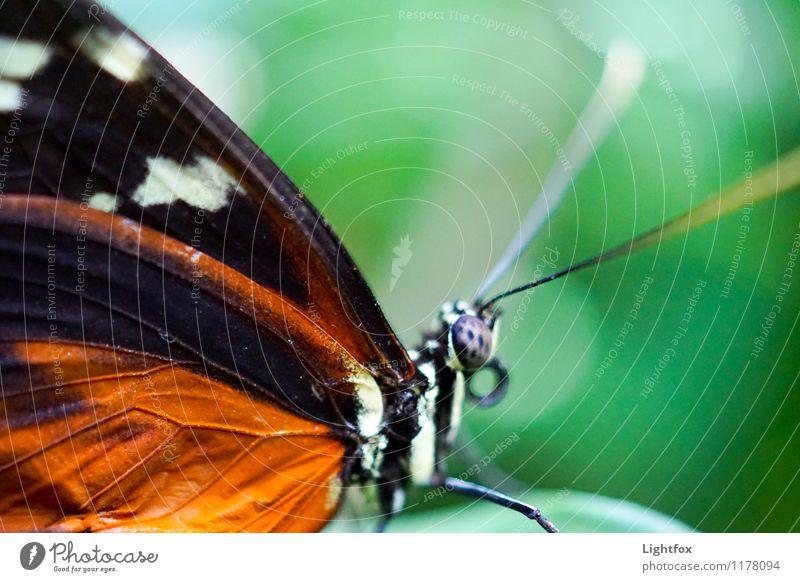 ...und es hat Zoom gemacht Tier Schmetterling 1 Lupe Mikroskop grün orange schwarz weiß Butterfly Tragfläche Schuppen startbereit Zoomeffekt Facettenauge Rast