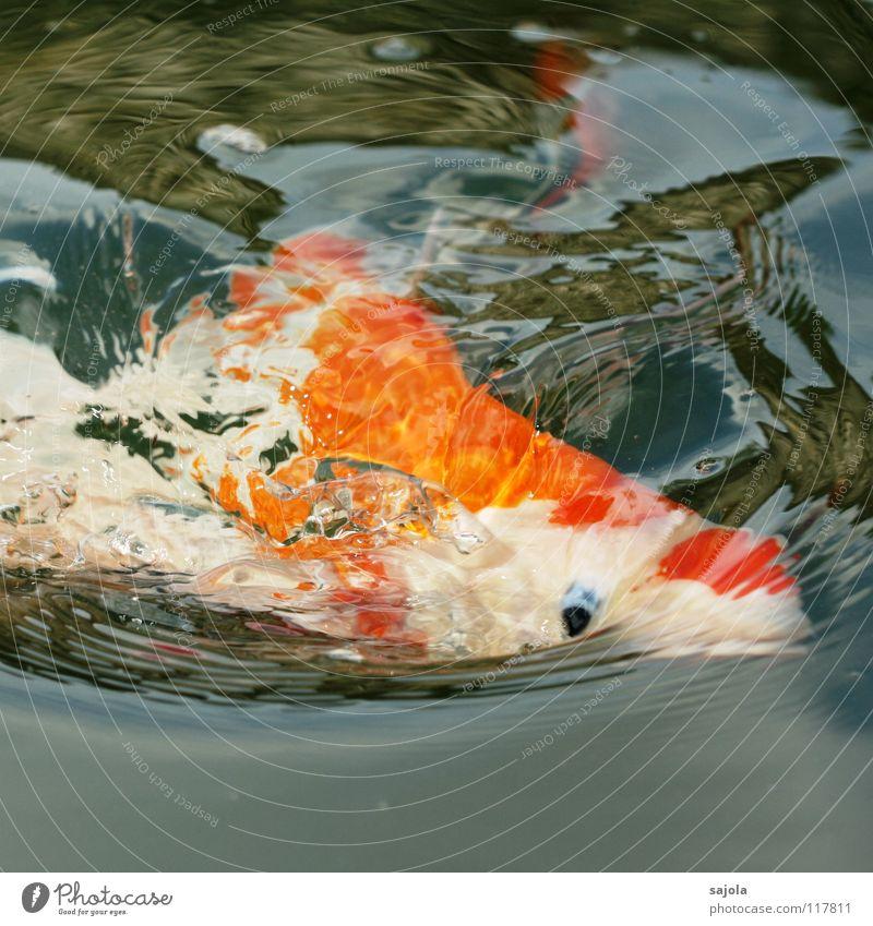 AAAH mein auge Tier Wasser Teich Fisch Tiergesicht Schuppen Koi Karpfen Fischauge Fischkopf Auge Fischmaul 1 Fressen blau weiß Appetit & Hunger Gerangel knallig