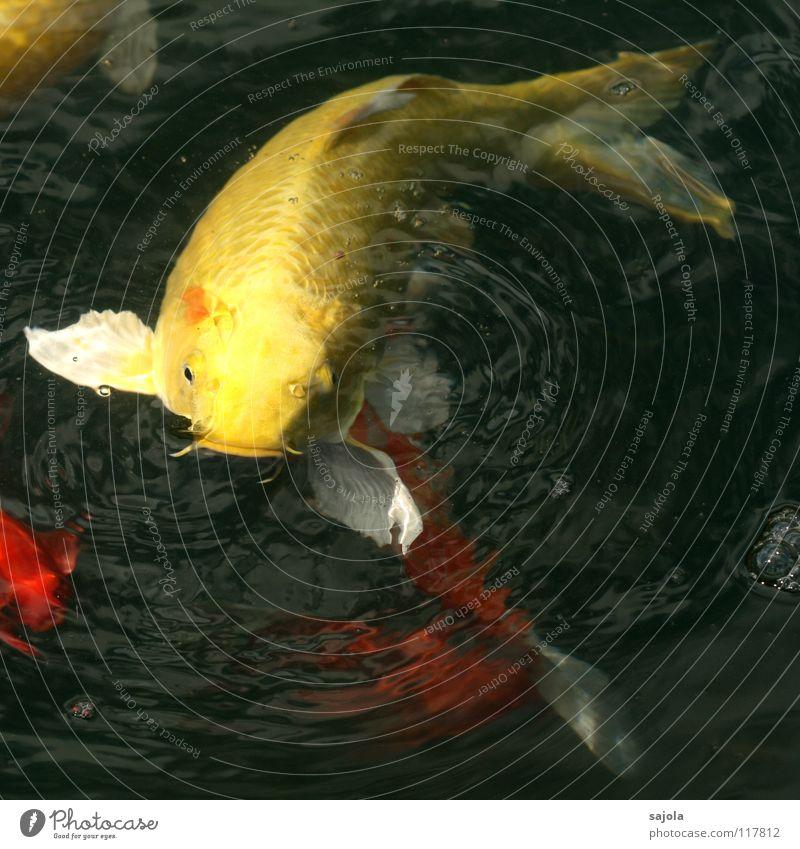 auf lauerstellung Tier Wasser Teich Fisch Schuppen Fischmaul Flosse Karpfen Koi Fischauge Auge Kopf Schwanzflosse 1 beobachten Fressen warten gelb weiß Hoffnung