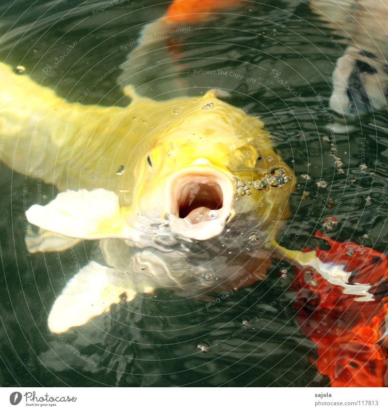 wirf!!! Farbfoto mehrfarbig Außenaufnahme Nahaufnahme Makroaufnahme Unschärfe Tierporträt Blick Blick nach vorn Fisch Wasser Teich Tiergesicht Schuppen Koi