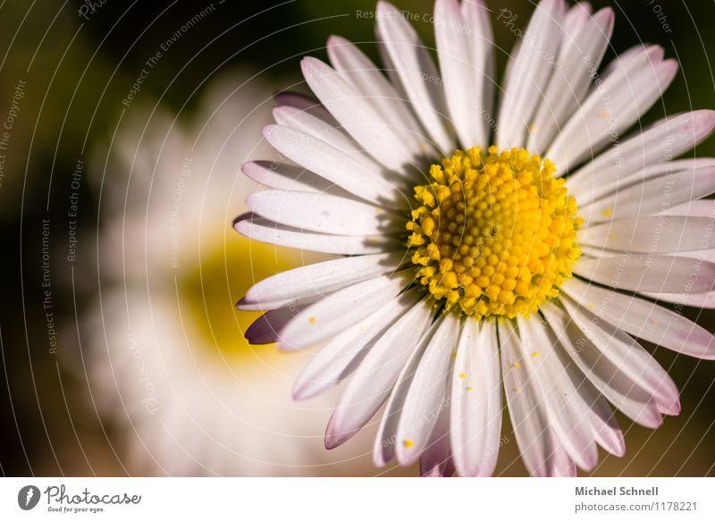 Blümchen Umwelt Natur Pflanze Sonnenlicht Frühling Sommer Blume Gänseblümchen Blühend leuchten Freundlichkeit Fröhlichkeit frisch Glück natürlich positiv gelb