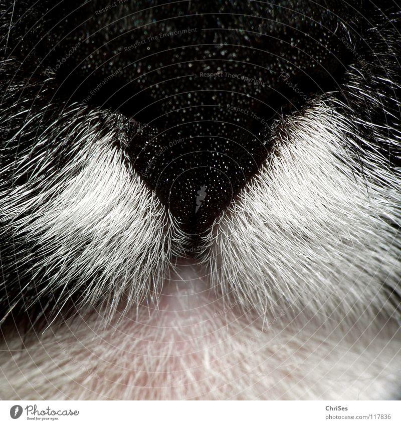 KatzenRiechen weiß schön schwarz Katze rosa Nase vorwärts Geruch Säugetier beißen Maul Hauskatze Zerreißen frontal kratzen