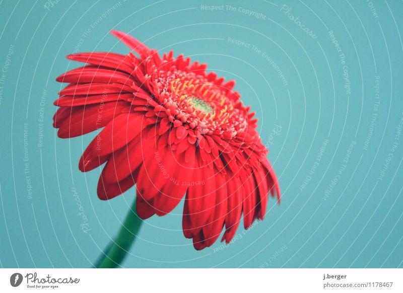 gerbera Natur Pflanze Frühling Blume Blüte Blühend blau rot Frühlingsblume frühlingshaft Gerbera Farbfoto Gedeckte Farben Nahaufnahme Detailaufnahme