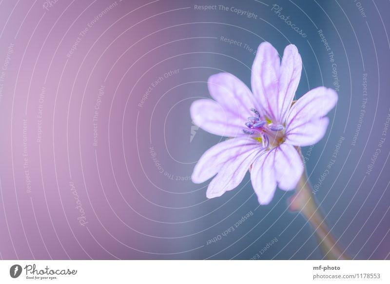 Beautiful Pink Natur Pflanze Blume Frühling rosa violett