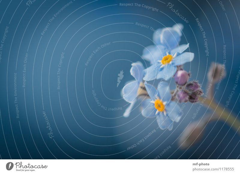 Vergissmeinnicht Natur Pflanze Blume Blüte blau orange Farbfoto Außenaufnahme Menschenleer
