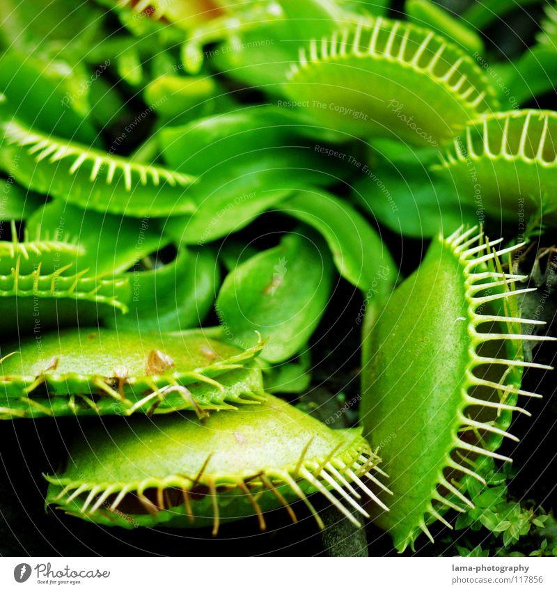 Klappe zu - Fliege tot Venusfliegenfalle Fleischfresser Pflanze grün Grünpflanze Blatt Blüte Fressen gefährlich trügerisch Verdauungsystem Blume Borsten fangen