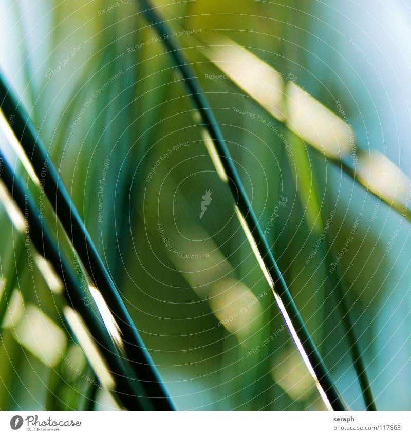 Binsen Schilfrohr Röhricht Biotop Blüte Blühend Blume Gras Halm Pflanze Natur Kräuter & Gewürze wedel Umwelt Riedgras Süßgras spirre Hintergrundbild abstrakt