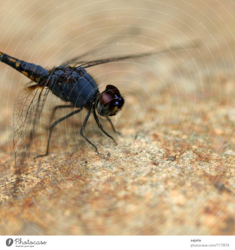 schwarzer sonnenzeiger Tier Tiergesicht Flügel Libelle Insekt Auge Facettenauge 1 Stein beobachten warten dünn blau violett Asien Singapore Blick Schutz