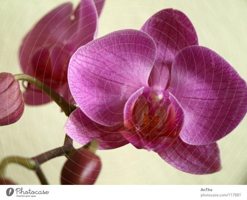 Orchidee rosa Blüte Makroaufnahme Nahaufnahme Blütenknospen
