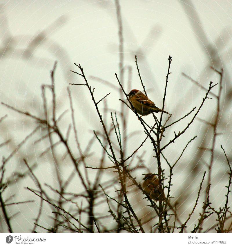 Spatzenwinter III Vogel klein 2 Zusammensein Ehe Baum Sträucher trist leer laublos Blatt fehlen kalt Einsamkeit grau Farblosigkeit Silberstreif Horizont Wunsch