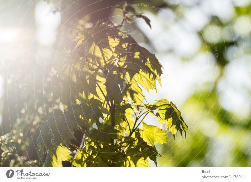 Ahorn Natur Pflanze Sonne Sonnenlicht Frühling Schönes Wetter Baum Grünpflanze Wildpflanze Blattgrün Ahornblatt Garten Wald Wachstum hell natürlich wild