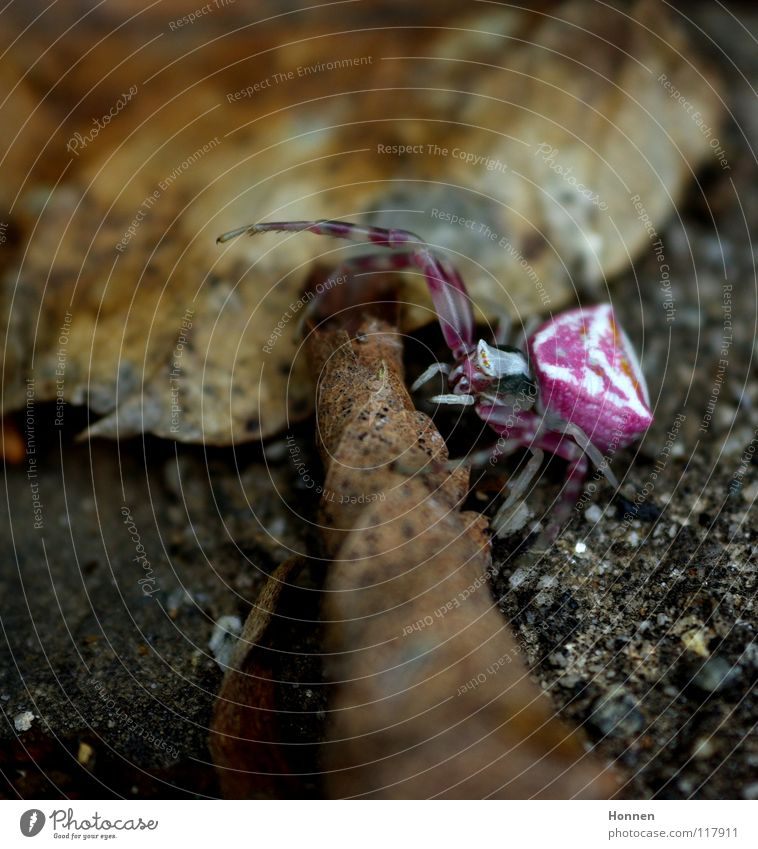 Kontrastprogramm weiß Pflanze Blatt Tier braun Erde Bodenbelag violett Insekt Zweig Gift krabbeln Krallen Kiefer angriffslustig Krabbenspinne