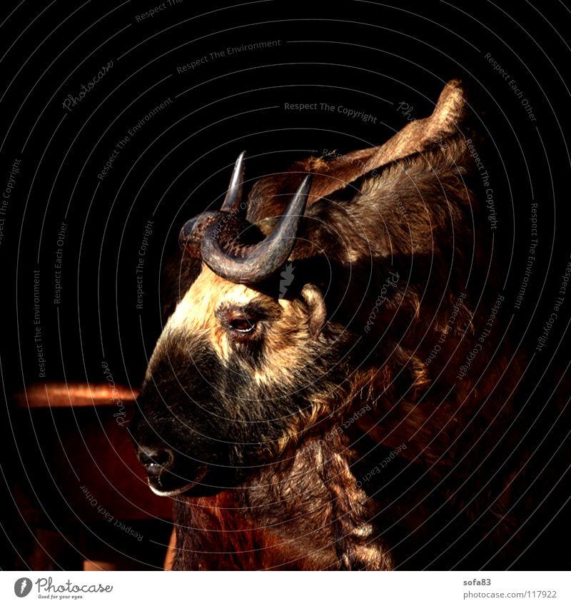 bitte lächeln? Sonne Tier braun beobachten Zoo Seite tierisch Langeweile Horn Säugetier Rind bräunlich seitwärts Auerochse
