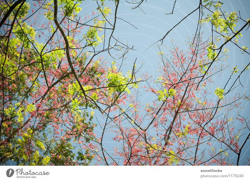 Frühling im Regenwald Natur blau Pflanze grün Baum Blatt Wald Umwelt Blüte rosa Wachstum Blühend Schönes Wetter Blütenknospen exotisch