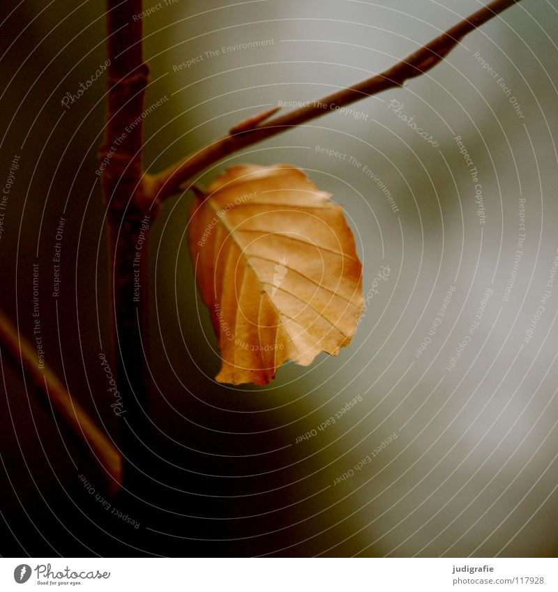 Festhalten Blatt Baum Buche Herbst Winter Laubbaum Abschied festhalten Physik Umwelt Pflanze ruhig Farbe Zweig Ast Tod fallen Wärme Natur Leben