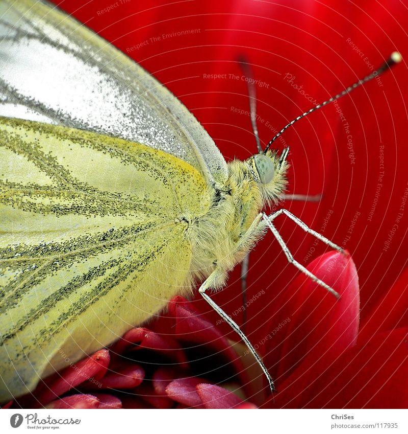 Rapsweißling; auf Rot angerichtet Weißlinge Sommer Frühling Schmetterling Insekt rot Blüte bestäuben flattern Flugtier Tier Fühler Nordwalde Makroaufnahme