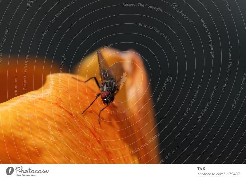 Fliege Natur Pflanze Tier Frühling Sommer Blüte 1 Blühend Duft ästhetisch authentisch einfach elegant natürlich orange schwarz Frühlingsgefühle Gelassenheit