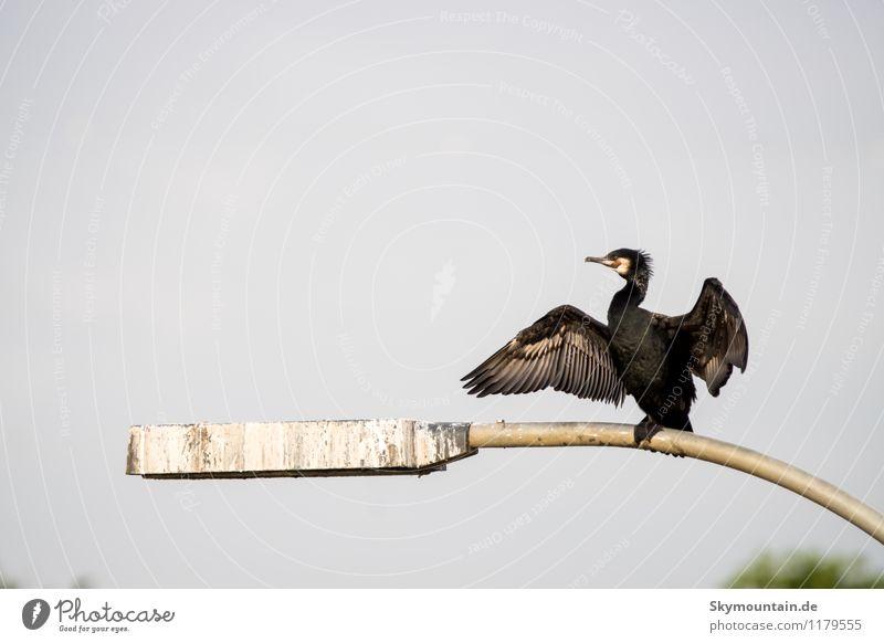Kormoran Umwelt Natur Landschaft Tier Seeufer Flussufer Neckartal Wildtier Vogel Tiergesicht Flügel 1 beobachten Erholung hocken sitzen wild braun schwarz