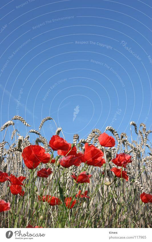 Bitte Klatschen Mohn! Feld Wiese rot beige Klatschmohn Physik kalt Hälfte Horizont Himmel blau geblümt Wärme Blumenstrauß