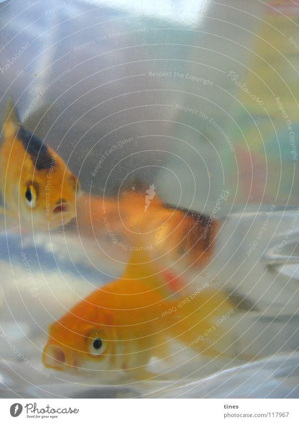 Hoi Baby Koi! Wasser Auge Schwimmen & Baden gold Fisch Neugier Güterverkehr & Logistik Blubbern staunen Koi Zierfische