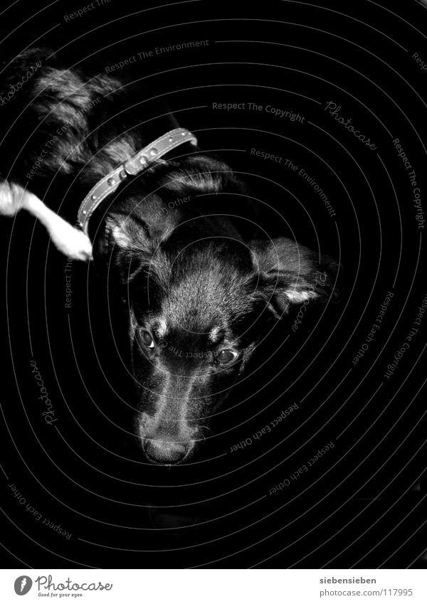 Linksabbieger Natur schwarz Tier Auge Hund klein Tierjunges weich Fell Lebewesen Säugetier Haustier Nachkommen Welpe winzig
