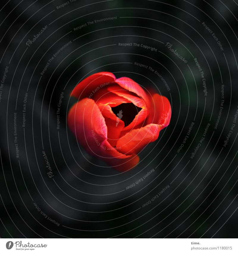 ausgehfein Frühling Pflanze Blume Tulpe Blatt Blüte Garten authentisch dunkel elegant schön natürlich rund Stimmung Lebensfreude Verliebtheit Romantik