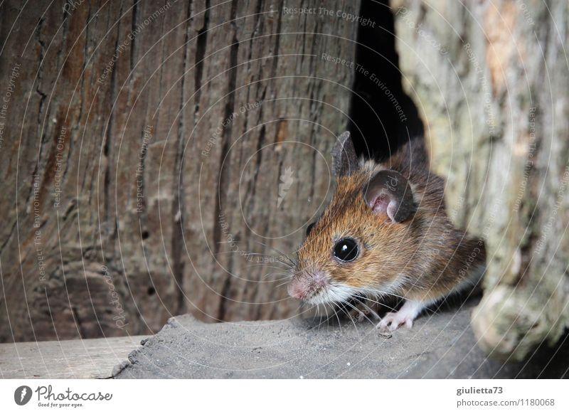 Maus, pass auf! Wildtier Waldmaus Gartenmaus 1 Tier Lagerschuppen Scheune Holz beobachten hören Blick frech schön klein listig Neugier niedlich braun