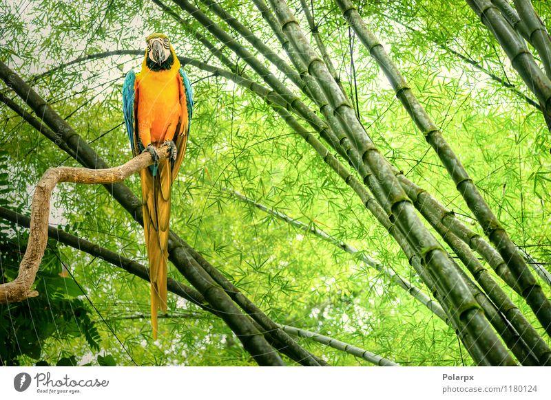 Papagei in einem Regenwald exotisch schön Leben Safari Zoo Natur Tier Urwald Haustier Vogel hell natürlich niedlich wild blau gelb grün Farbe Bambus Ast Brühe