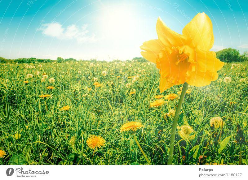 Narzisse auf einem Feld Himmel Natur Pflanze schön grün Farbe Sommer Sonne Blume Blatt Umwelt gelb Frühling Blüte Wiese natürlich