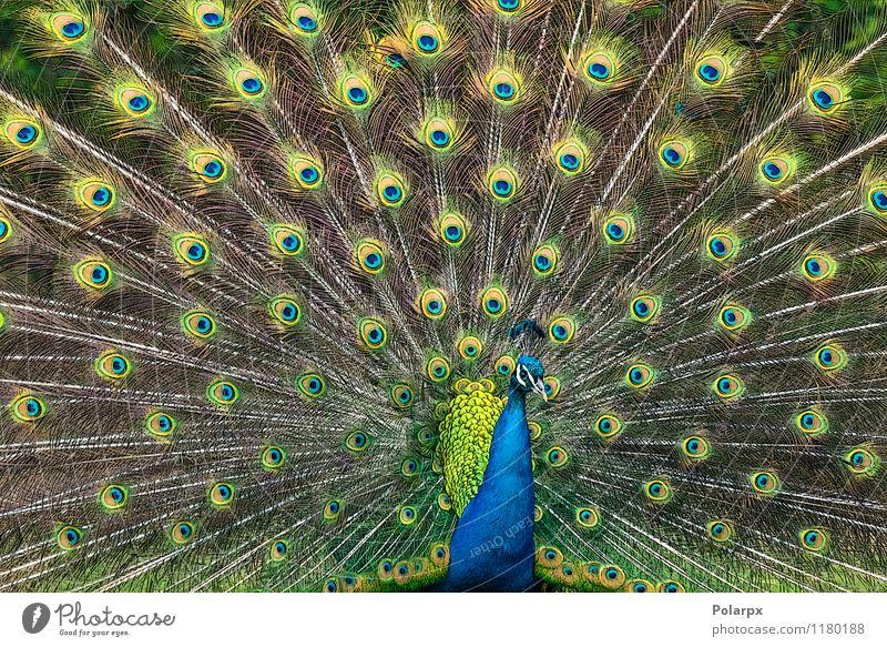 Pfau Abbildung elegant Garten Mann Erwachsene Natur Tier Vogel natürlich wild blau grün Stolz Farbe Cristatus Pavo Inder Gefieder Feder Kopf Tierwelt Leitwerke