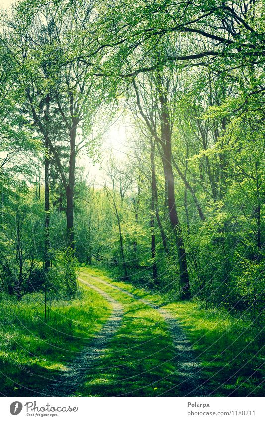 Grüner Wald schön Sommer Sonne Umwelt Natur Landschaft Pflanze Frühling Herbst Baum Blatt Park Straße Wege & Pfade hell natürlich grün Farbe Buchsbaum