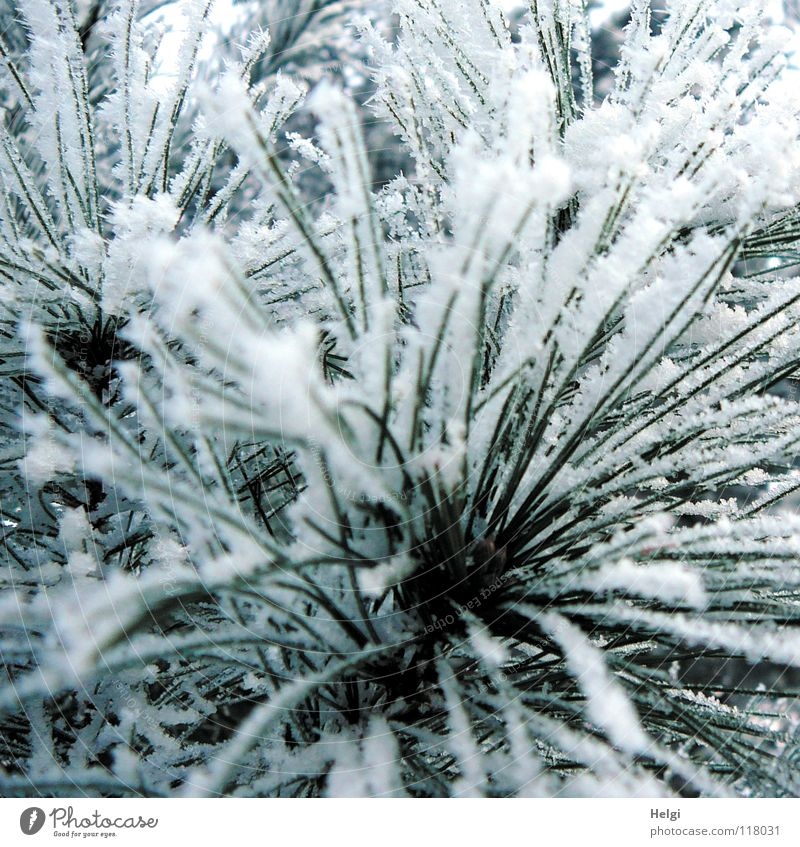 Raureif an Kiefernadeln Winter Dezember Januar Februar frieren gefroren kalt Eiskristall Winterwald Baum Pflanze lang dünn grün weiß glänzend braun Unschärfe